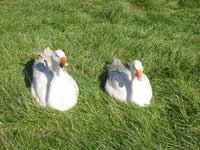 Geese enjoying the sun © Rob Shephard 2007