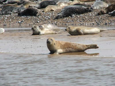 Blakeney Point Seals © Rob Shephard 2008