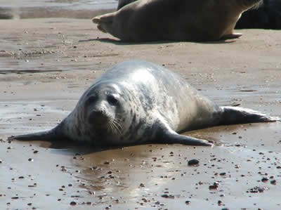 Seal at Blakeney Point © Rob Shephard 2008