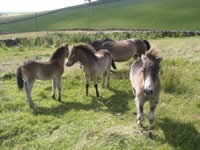 Exmoor Ponies - Photo by Neil Anderson